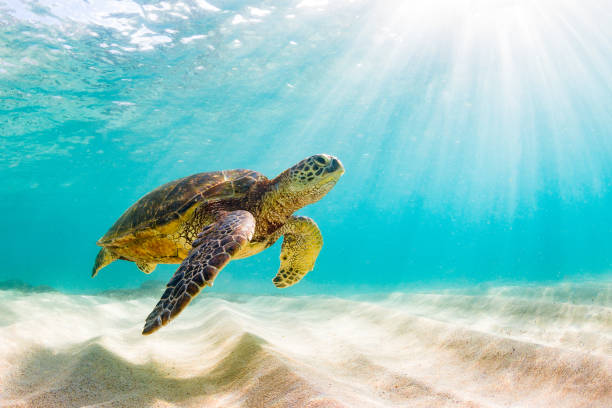 beautiful hawaiian green sea turtle - tartaruga marina foto e immagini stock