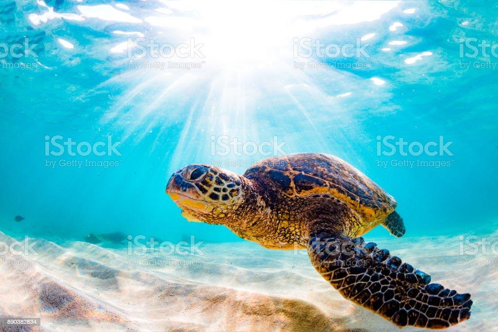 Wunderschöne Hawaiianische Grüne Meeresschildkröte Stock-Fotografie ...