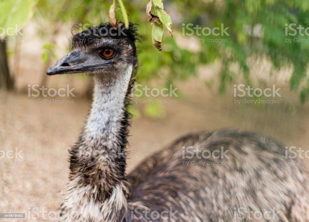 Beautiful head of emu stock photo