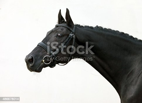 istock Beautiful head shot of a thoroughbred racehorse 486678014