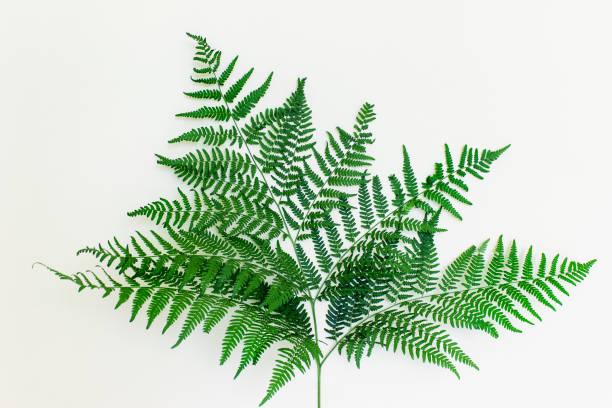 Beautiful healthy fern leaf stock photo