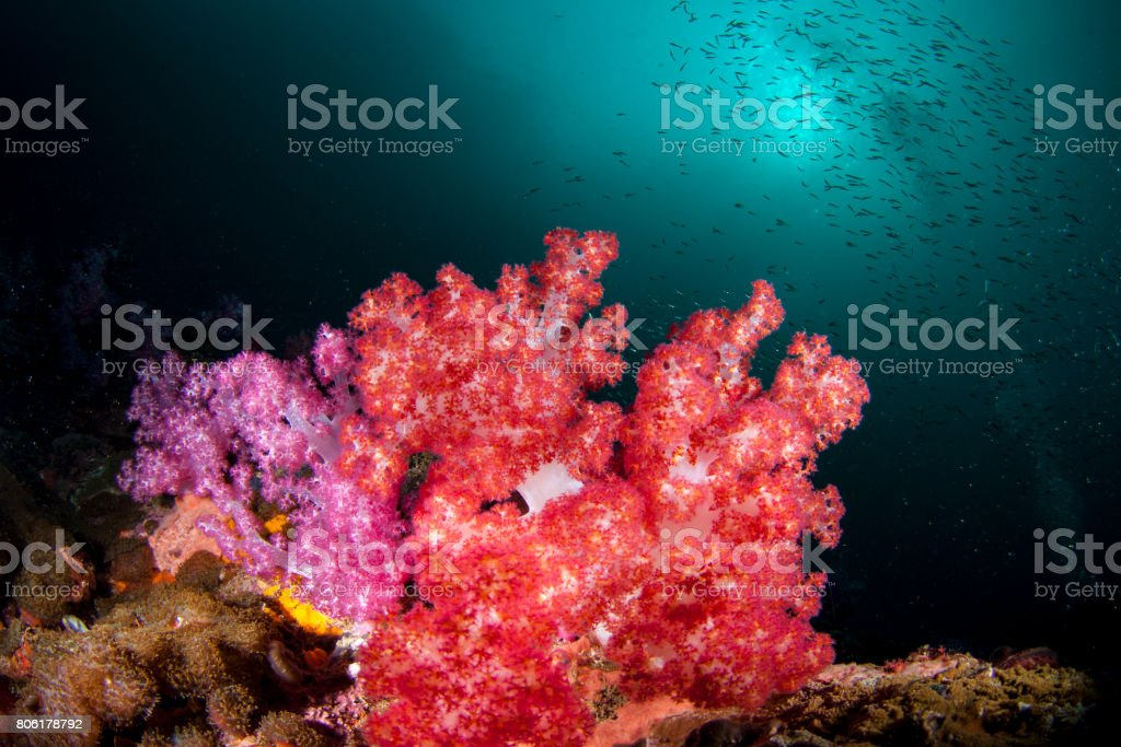 Beautiful healthy soft corals in bloom surrounded by a schooling fish in the crystal clear water stock photo