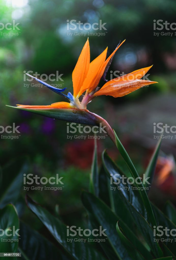 Beautiful Heliconia flower on moody tone royalty-free stock photo