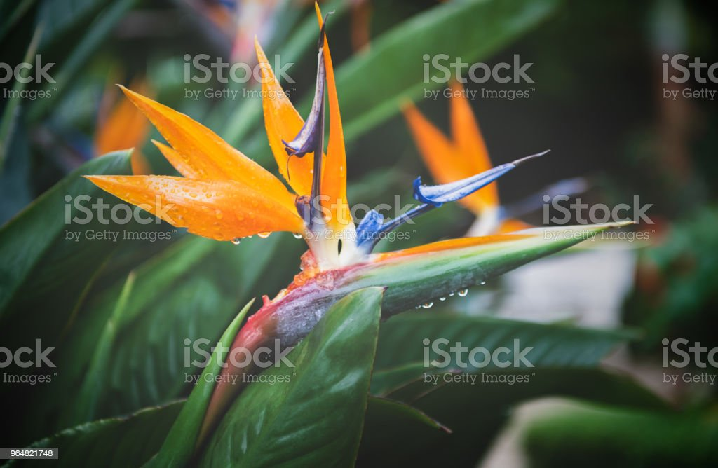 Beautiful Heliconia flower on moody tone, royalty-free stock photo