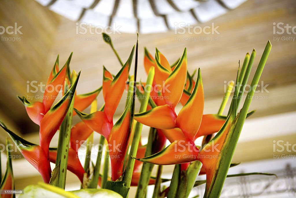 Beautiful Heliconia (Lobster Claw) royalty-free stock photo