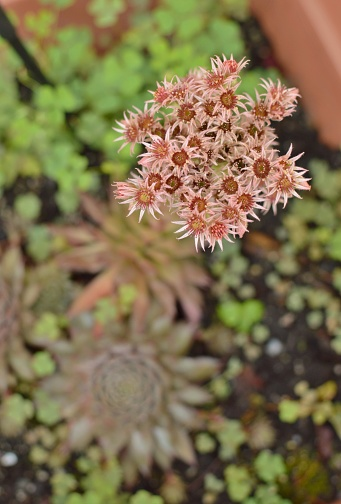 Beautiful Hens And Chicks Flower Blooming Succulents In The Garden Stock Photo Download Image Now Istock