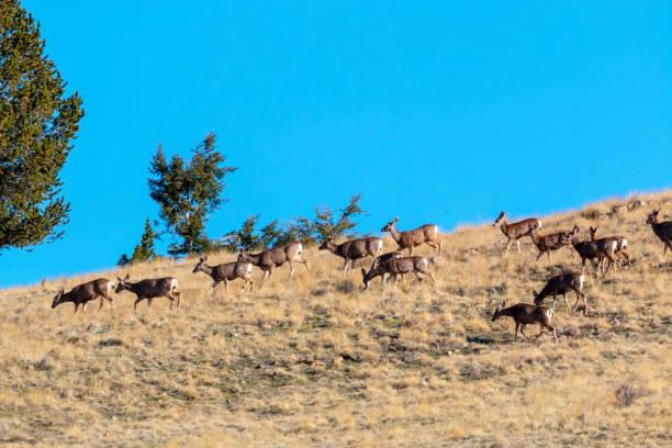 Beautiful Herd of Mule Deer stock photo