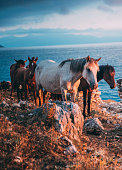 A small herd of beautiful white and brown wild horses roams free in the rocky mountains along the coast of Albania.