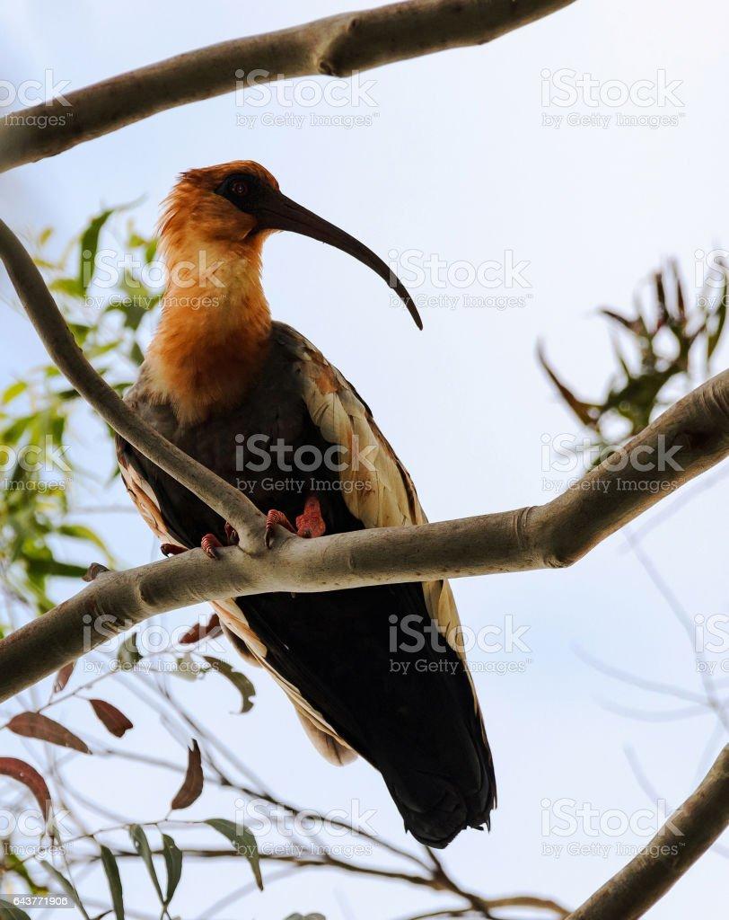 Bela Garça do Pantanal no Brasil - foto de acervo
