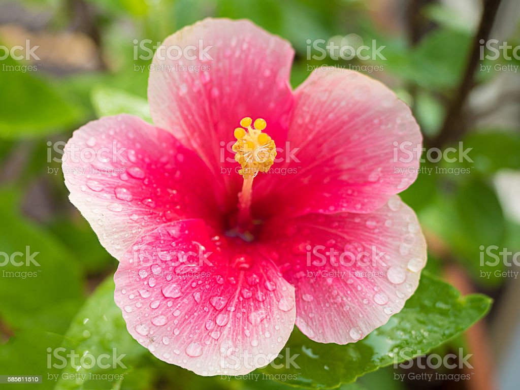 Beautiful hibiscus flower on nature background stock photo
