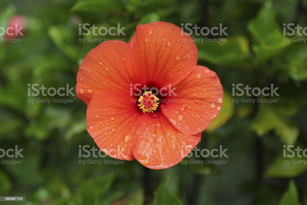 Beautiful Hibiscus Flower royalty-free stock photo