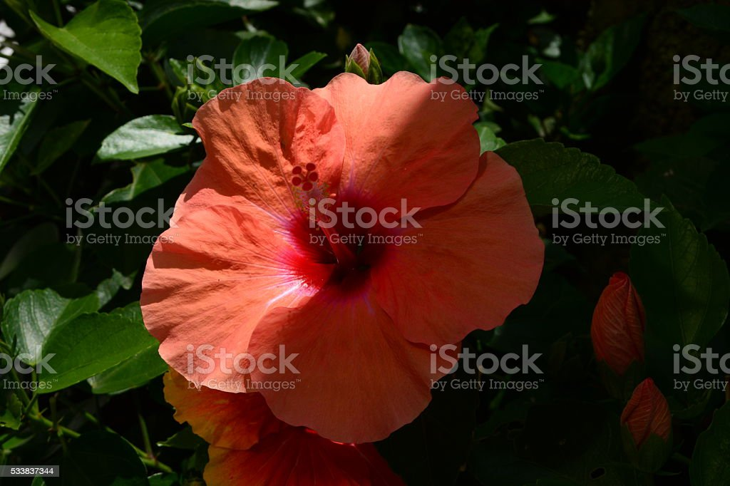 Beautiful Hibiscus Flowers Stock Photo More Pictures Of Beauty In