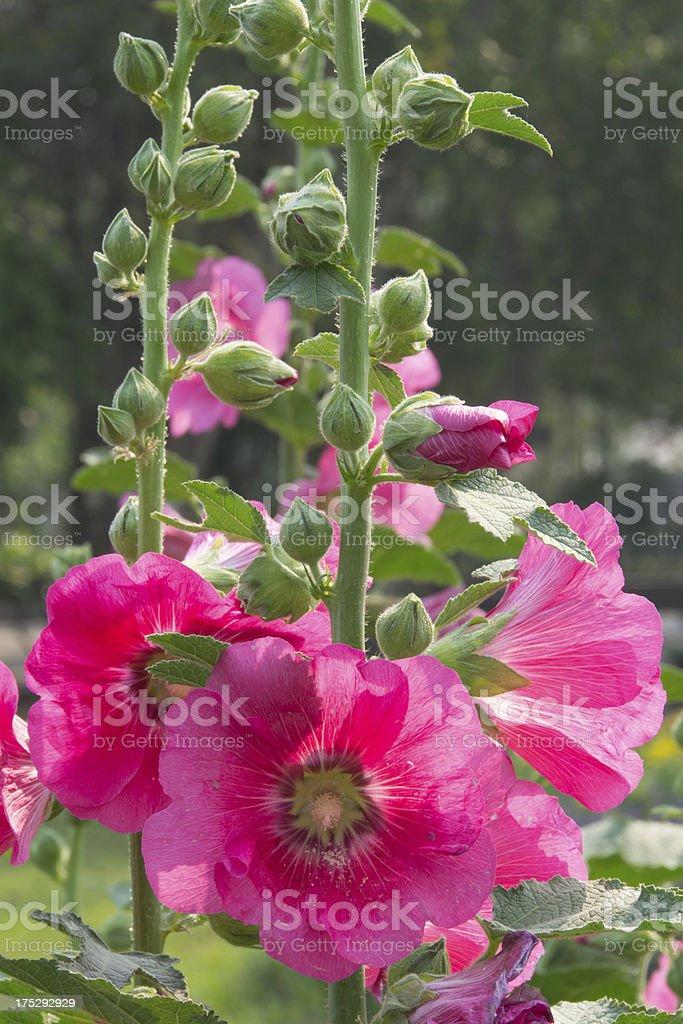 Beautiful Hollyhock in the garden. stock photo