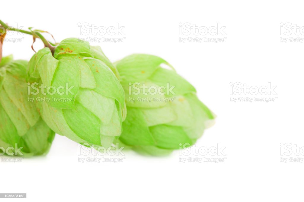 Beautiful hop. stock photo