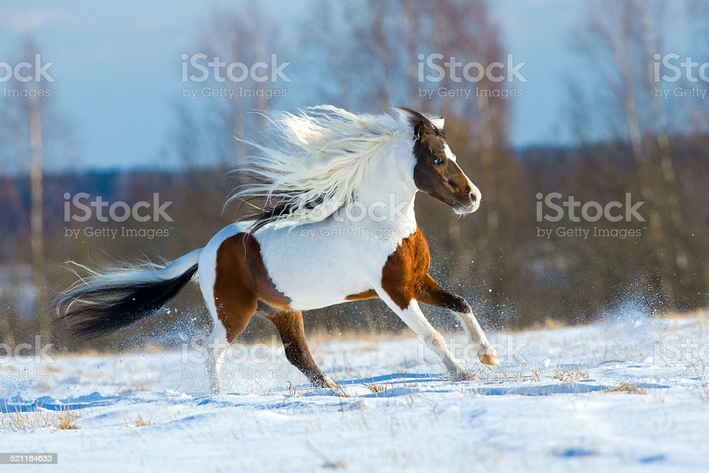 Beautiful horse gallops in the snow in winter stock photo