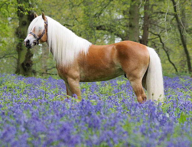 Beautiful Horse in Flowers A Haflinger stallion stands in a forest of bluebells. palomino stock pictures, royalty-free photos & images