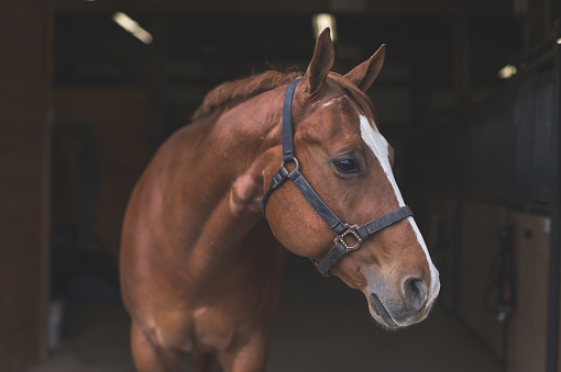 A magnificent horse stands in the barn, patiently waiting to go out.