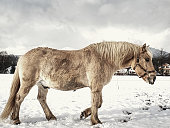 Beautiful horse isabella walk and dig with hoof in wet snow. Meadow with horses cover first snow.