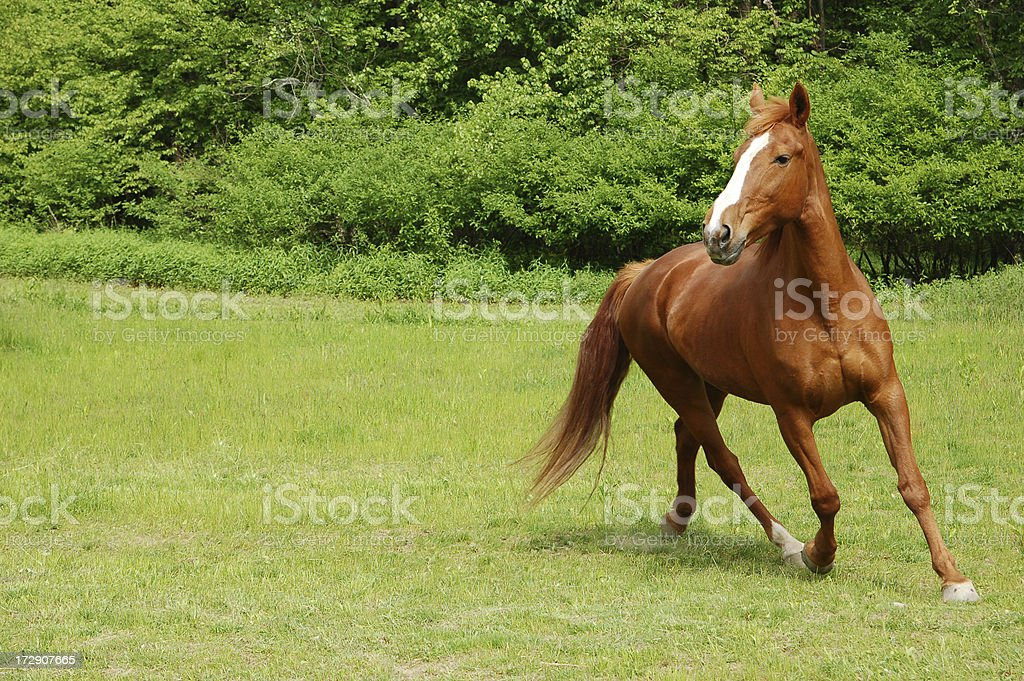 Beautiful Horse royalty-free stock photo