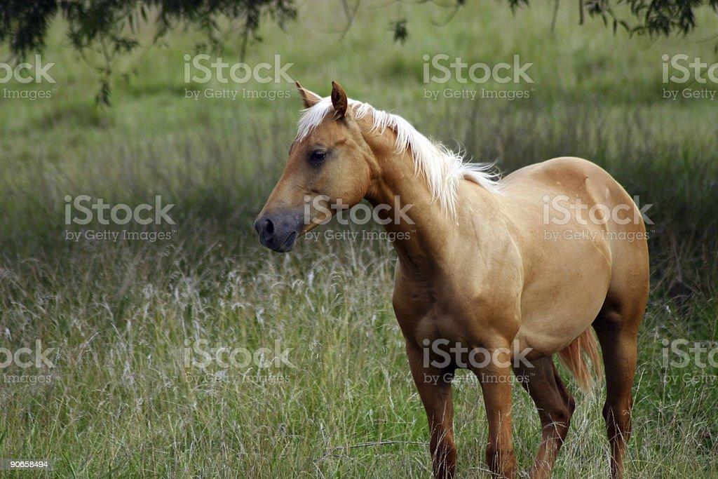 Beautiful Horse royalty-free stock photo