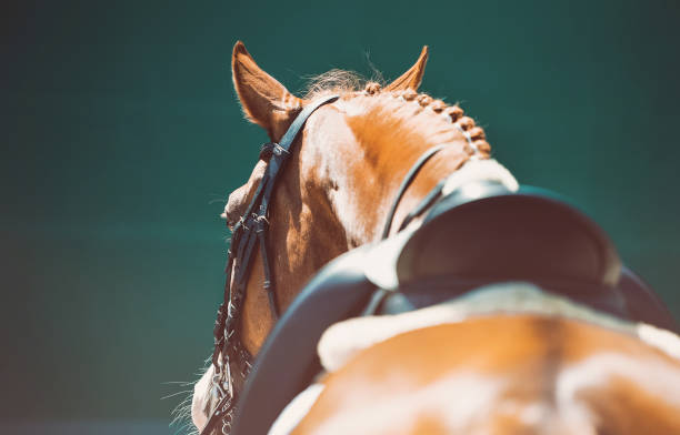 vacker häst porträtt under dressyr tävling. - hästhoppning bildbanksfoton och bilder