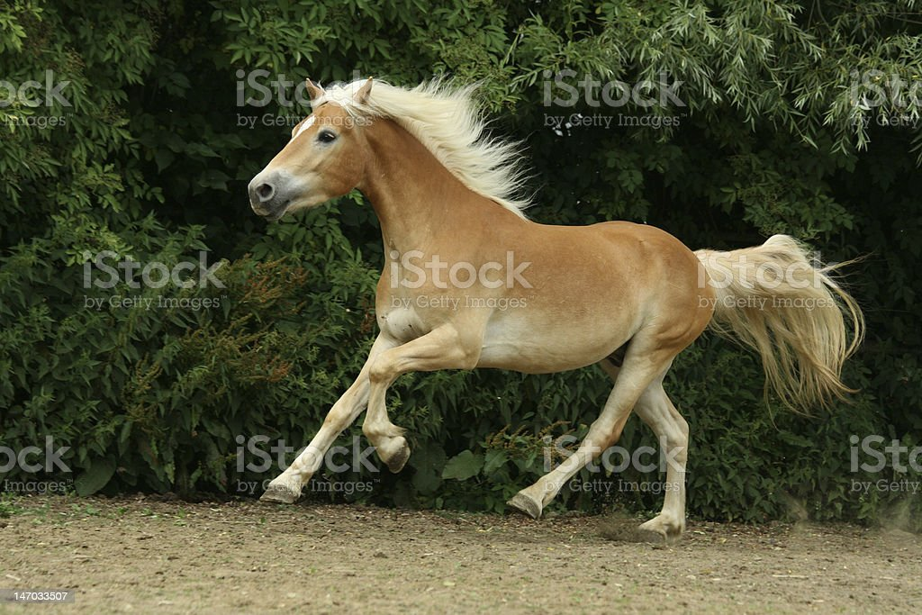 Beautiful horse running royalty-free stock photo