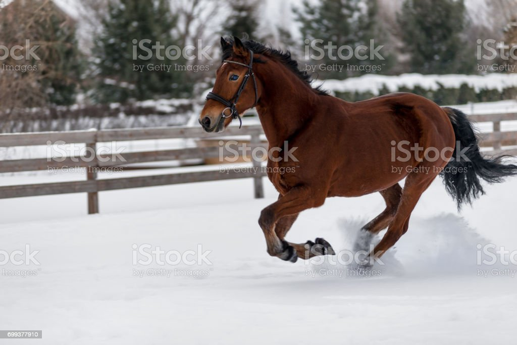 Beautiful horse runs on a ranch behind a fence in the winter stock photo