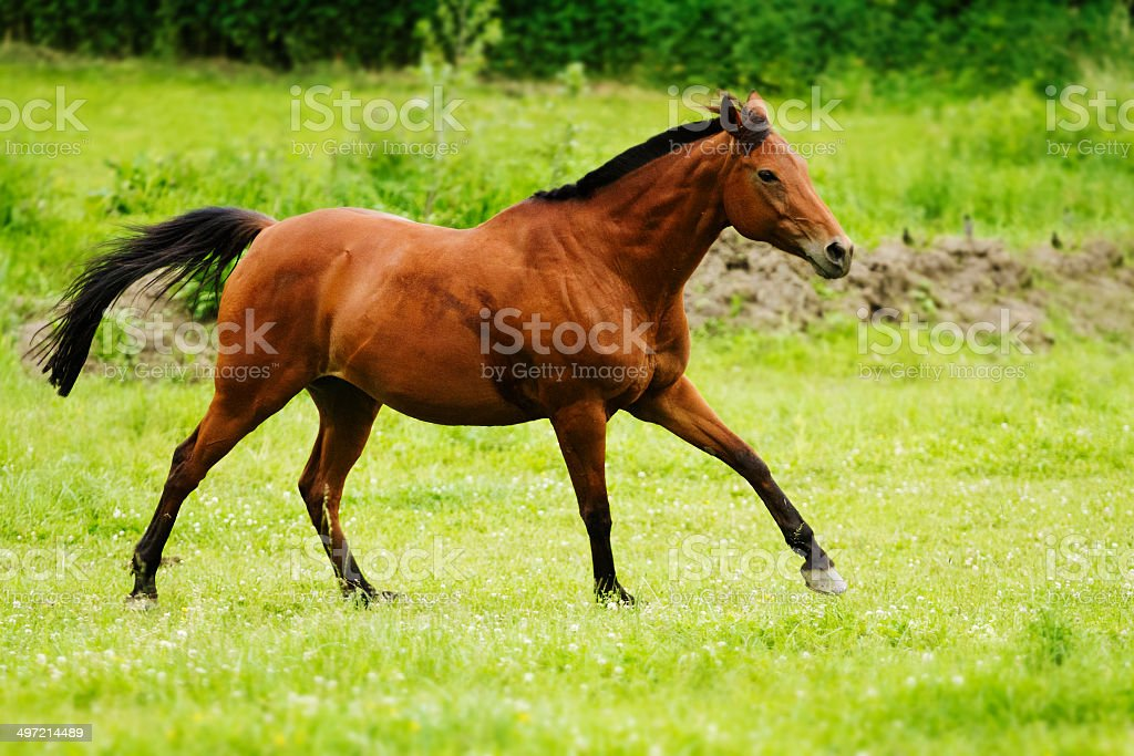 Beautiful Horse Thoroughbred Stock Photo Download Image Now Istock