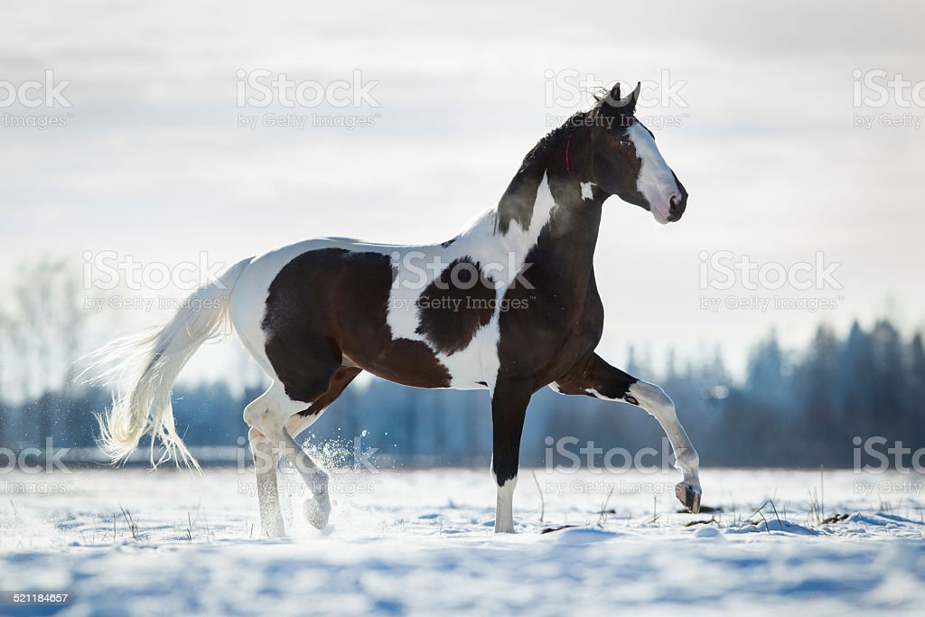 Beautiful horse trot in the snow in field in winter stock photo