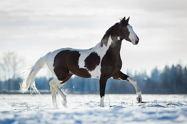 Beautiful horse trot in the snow in field in winter Beautiful paint horse trot in the snow in field in winter. paint horse stock pictures, royalty-free photos & images
