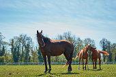 beautiful horses grazing in the pasture