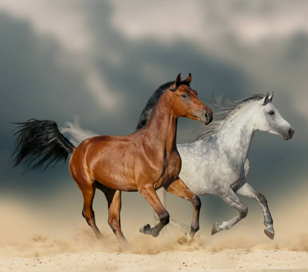 Beautiful horses in desert Beautiful horses in desert running wild under stormy skies arabian horse stock pictures, royalty-free photos & images