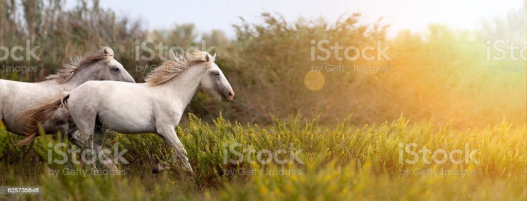 Beautiful horses running stock photo