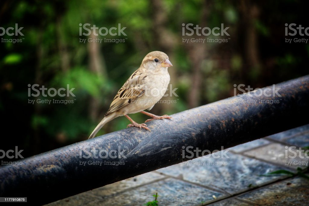Beautiful House Sparrow Bird In Nature Photography Stock Photo Download Image Now Istock