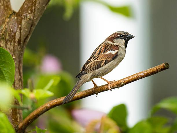 Beautiful House Sparrow [Passeridae] stock photo