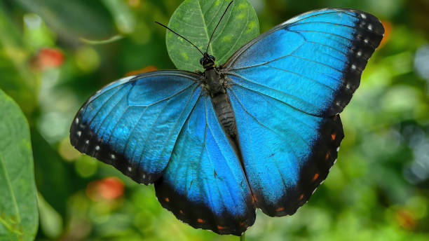 Ein schöner riesiger Schmetterling im Dschungel von Französisch-Guayana in Südamerika. – Foto