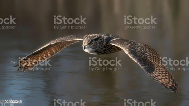 Beautiful huge european eagle owl flying low above a lake noord in picture id1204000045?b=1&k=6&m=1204000045&s=612x612&h=1zktqpm0e3yrdfzuchxnnmgpefa7b16pmxflbhnsmz4=