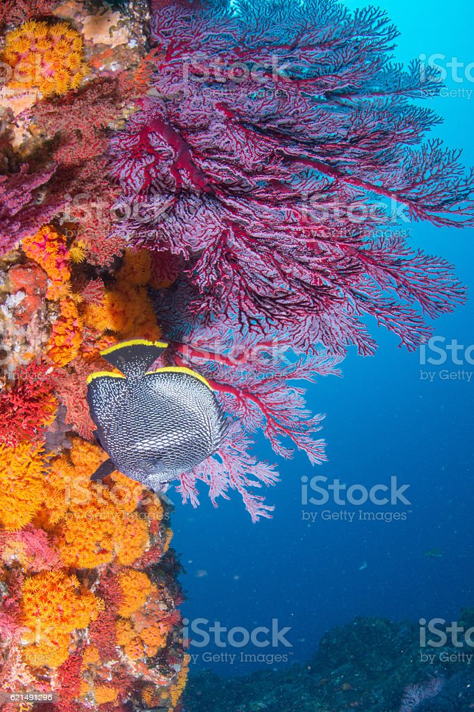 Beautiful huge sea fan photo libre de droits