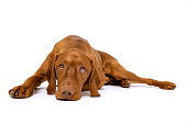 istock Beautiful hungarian vizsla dog full body studio portrait. Dog lying down and looking up, isolated over white background. 1209910366