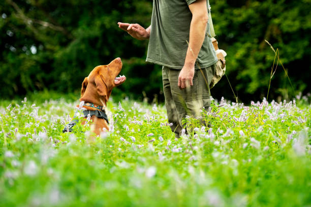 beautiful hungarian vizsla puppy and its owner during obedience training outdoors. sit command side view. - training imagens e fotografias de stock