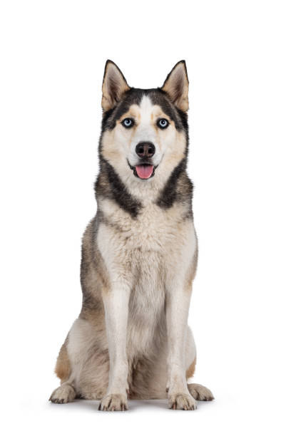 Beautiful Husky dog on white background Pretty young adult Husky dog, sitting up facing front. Looking towards camera with light blue eyes. Isolated on a white background. husky dog stock pictures, royalty-free photos & images
