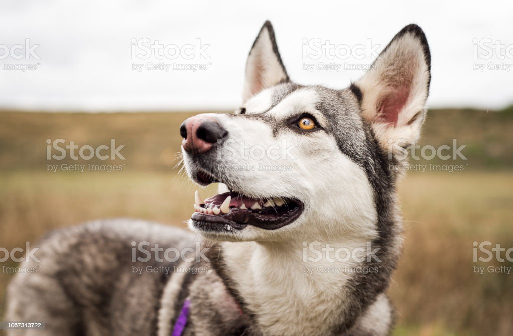Beautiful husky dog smiling and looking up stock photo