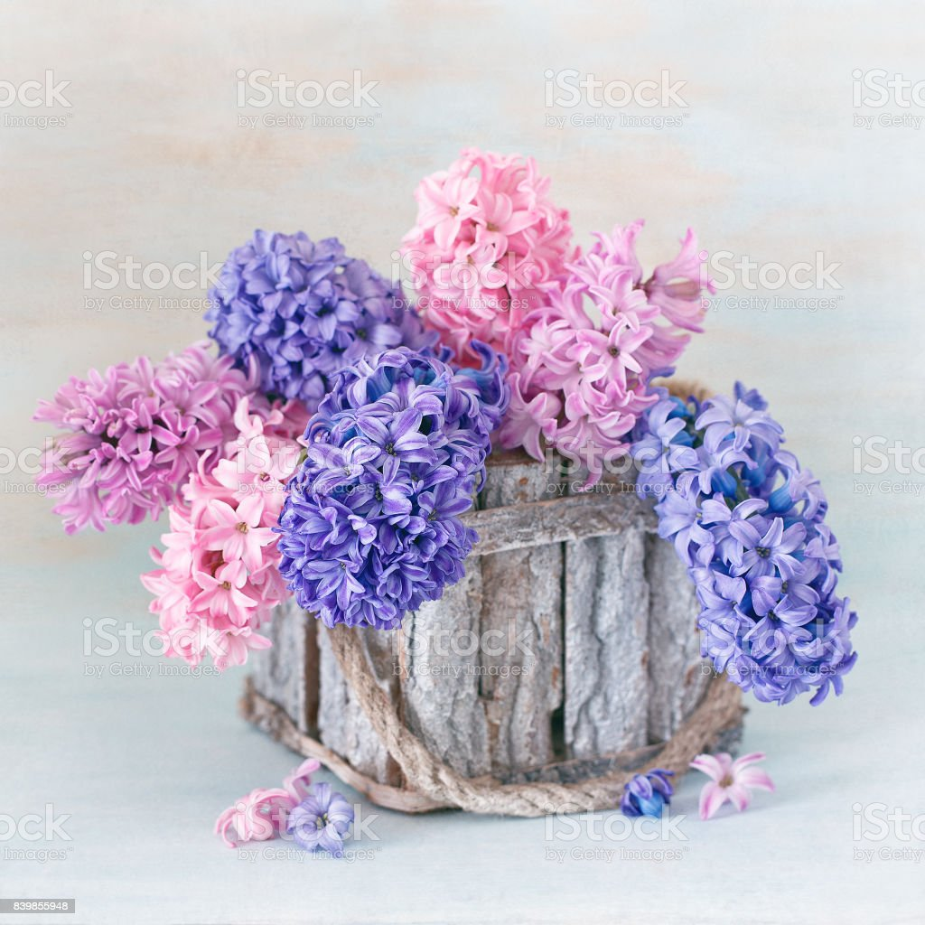 Beautiful hyacinth flowers . stock photo