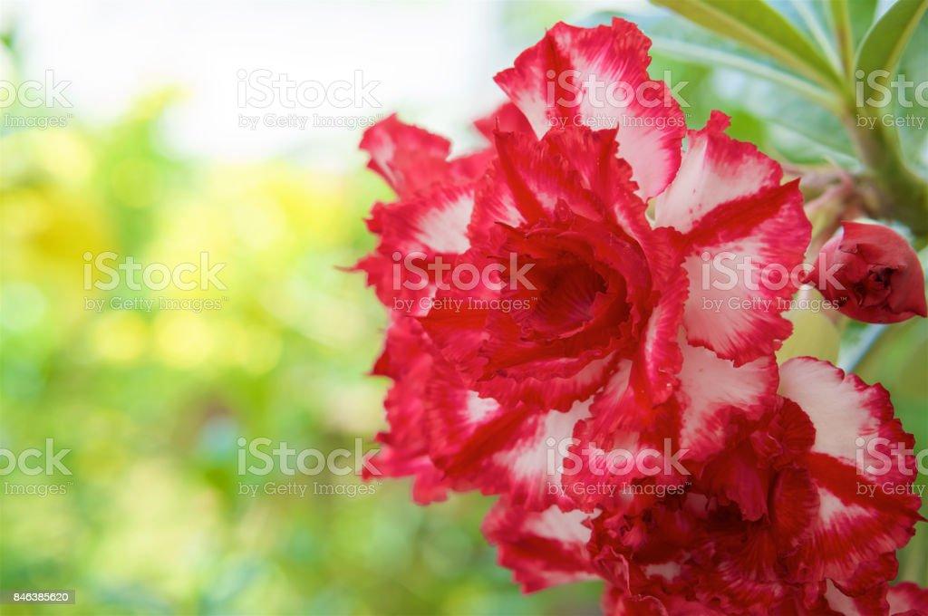 Beautiful hybrid Adenium Obesum have red and white layers stock photo