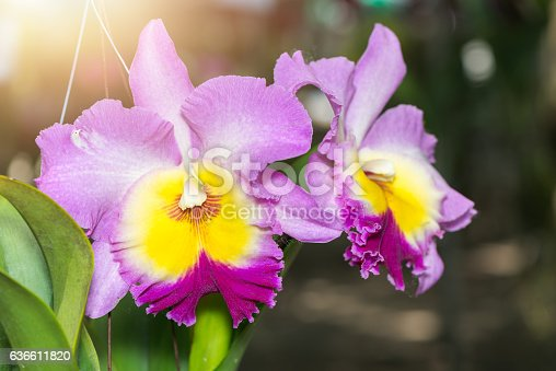 beautiful Hybrid pink Cattleya orchid flower with sunlight and nature background