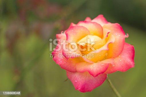 Soft focus beautiful hybrid tea rose in the garden