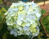 Typical flower hydrangea of Indonesian mountains