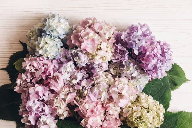 Beautiful hydrangea flowers bouquet on rustic white wood, flat lay. Colorful pink,blue,green,white hydrangea, greeting card with space for text. Hello spring. Happy mothers day. Women day. stock photo