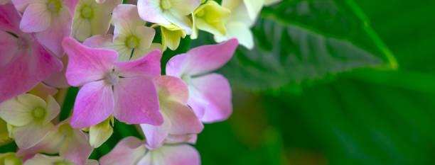 Beautiful hydrangea with pink lilac violet purple flowers picture id1192515067?b=1&k=6&m=1192515067&s=612x612&w=0&h=byhx8g28hsxrndcilbrr29nw rtm7crnmnsajmnmqkw=