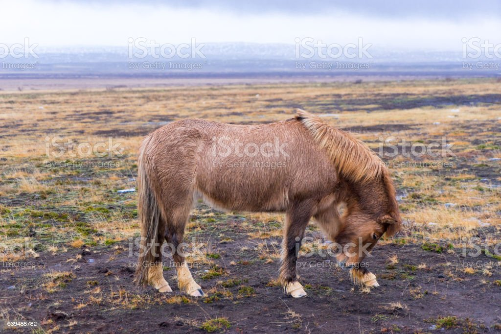 Beautiful Icelandic Horse in Iceland stock photo